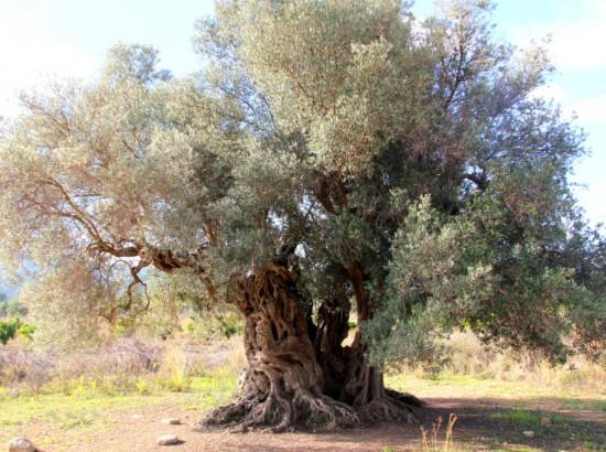 OLIVE TREE_RQ